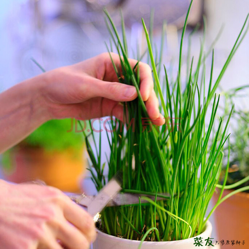 蔬菜种子盆栽家庭种植居家阳台室内绿色办公室绿植花卉种子植物盆景花