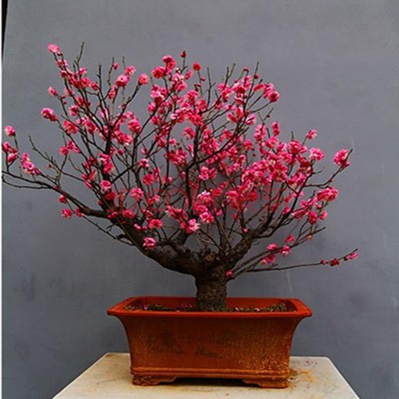 梅花树苗红梅腊梅绿梅红梅树苗盆栽苗梅花苗乌梅榆叶梅鸿运梅花苗 6年