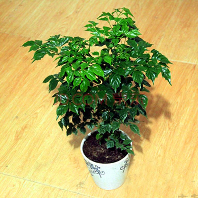 楚景幸福树 平安树 室内客厅大型植物盆景 观叶盆栽花卉苗 吸甲醛