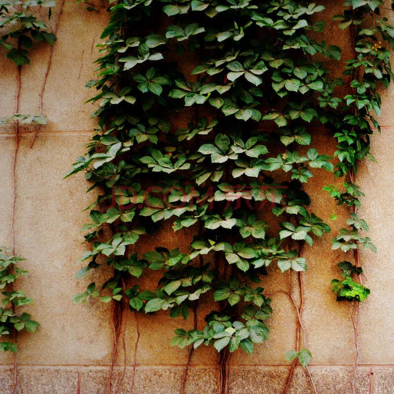 攀缘植物爬墙虎苗 花卉盆栽地栽 阳台别墅庭院垂直绿化 爬山虎 东南