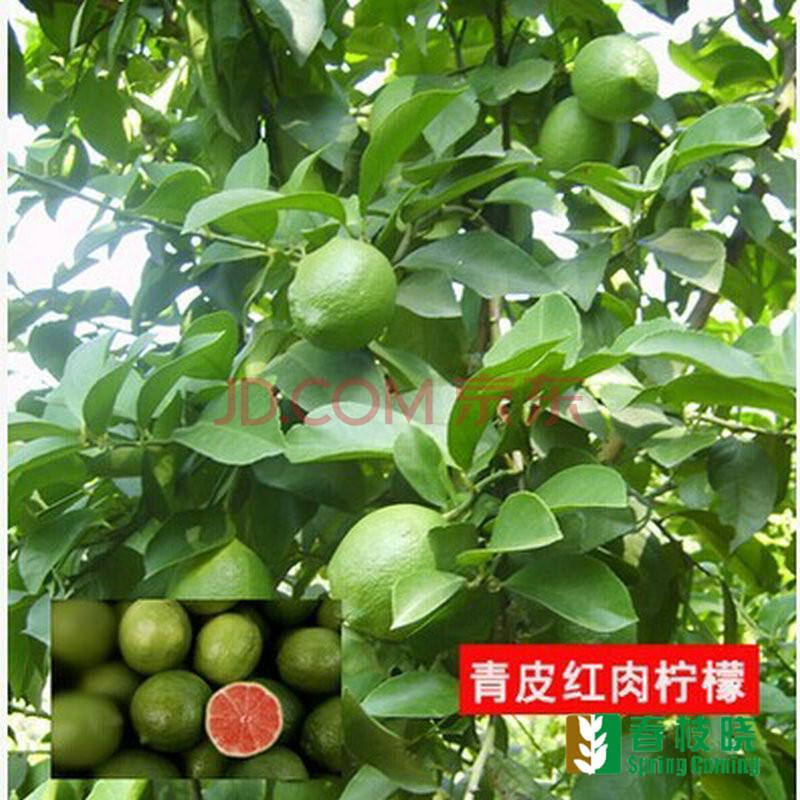 树盆栽果树苗/柠檬苗/柠檬树苗 四季结果 香水柠檬苗