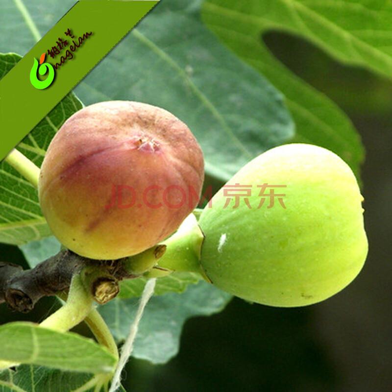 无花果苗 果树苗室内外种植无花果盆栽 日本紫果盆栽花苗地栽南北方