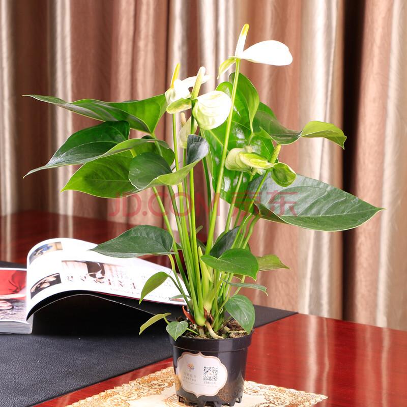 爱尚创意绿植鲜花盆栽植物书房卧室客厅桌面办公室鲜花摆件c 白掌
