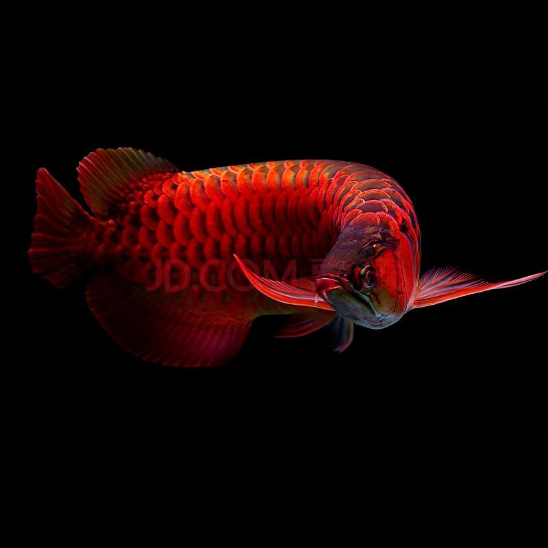 辣椒红龙鱼_红龙鱼印尼超血红龙鱼 辣椒赤血红龙活体 印尼翘头小红龙活体观赏鱼