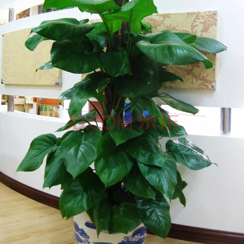 植物 绿植 盆栽 花卉 办公桌植物 吸甲醛 净化空气 绿萝 小叶绿萝 1.