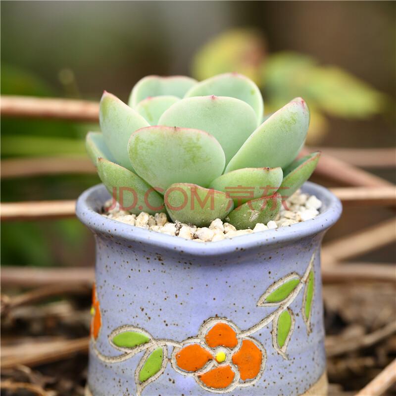 陈果多肉组合多肉植物盆栽组合绿植花卉盆景办公室盆栽桌面小摆件多彩
