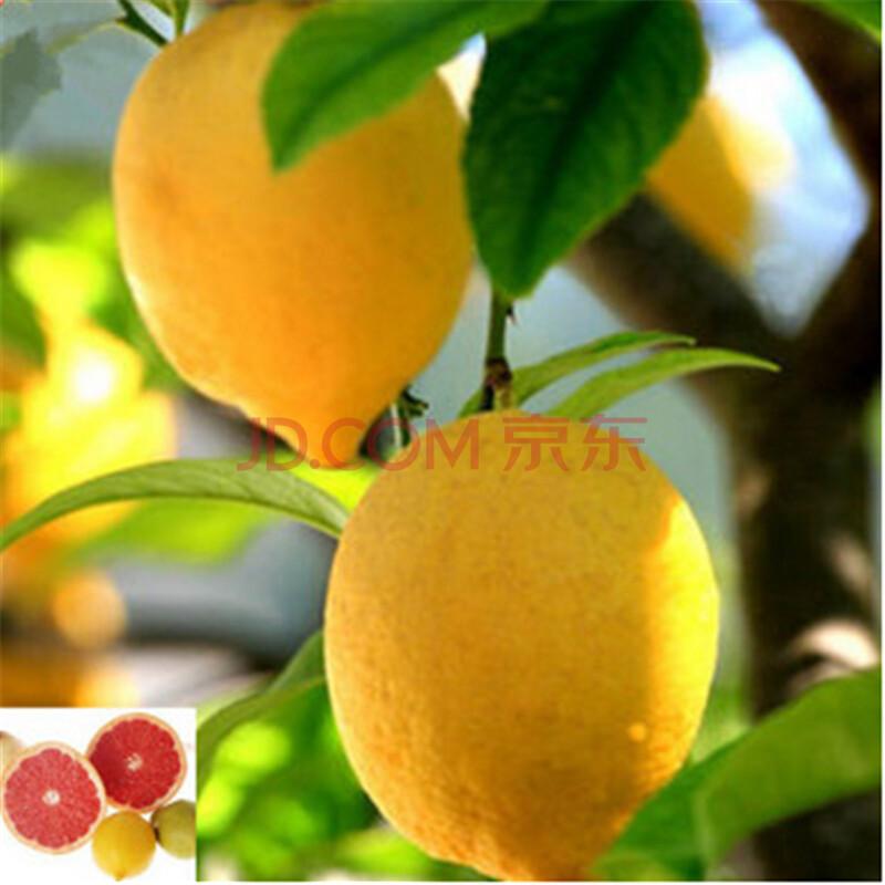 盆栽果树苗/柠檬苗/柠檬树苗 四季结果 香水柠檬苗 香水柠檬3年苗 包