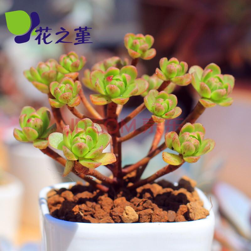 肉植物日本小松