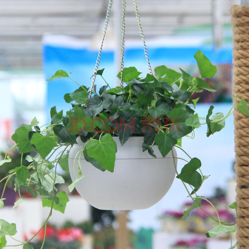 世纪奥桥 常春藤吊兰植物盆栽花卉室内客厅阳台净化空气吸甲醛苯 带