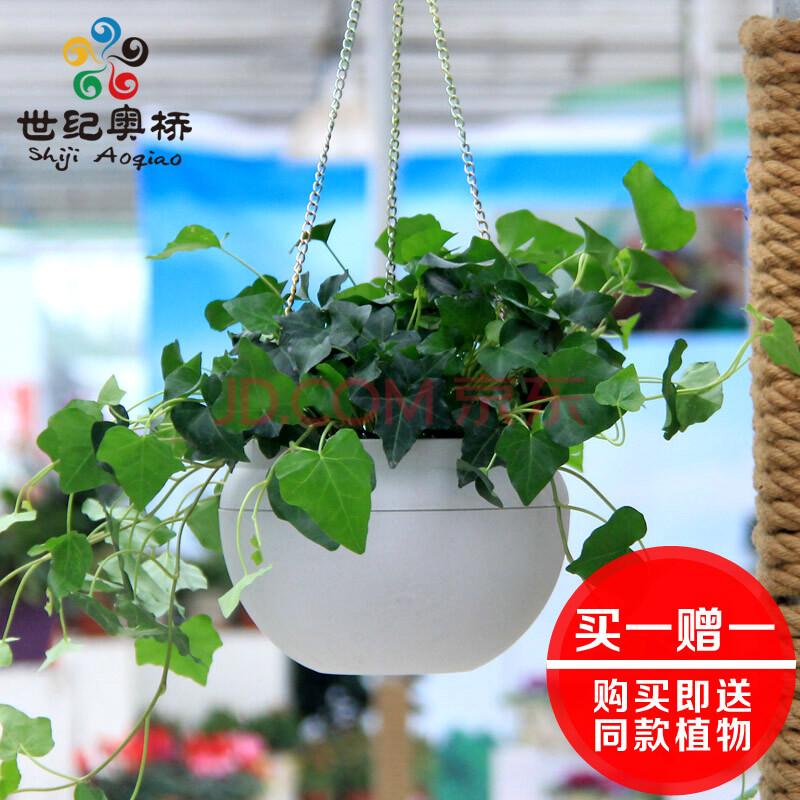 绿叶常春藤吊兰植物盆栽花卉室内客厅阳台