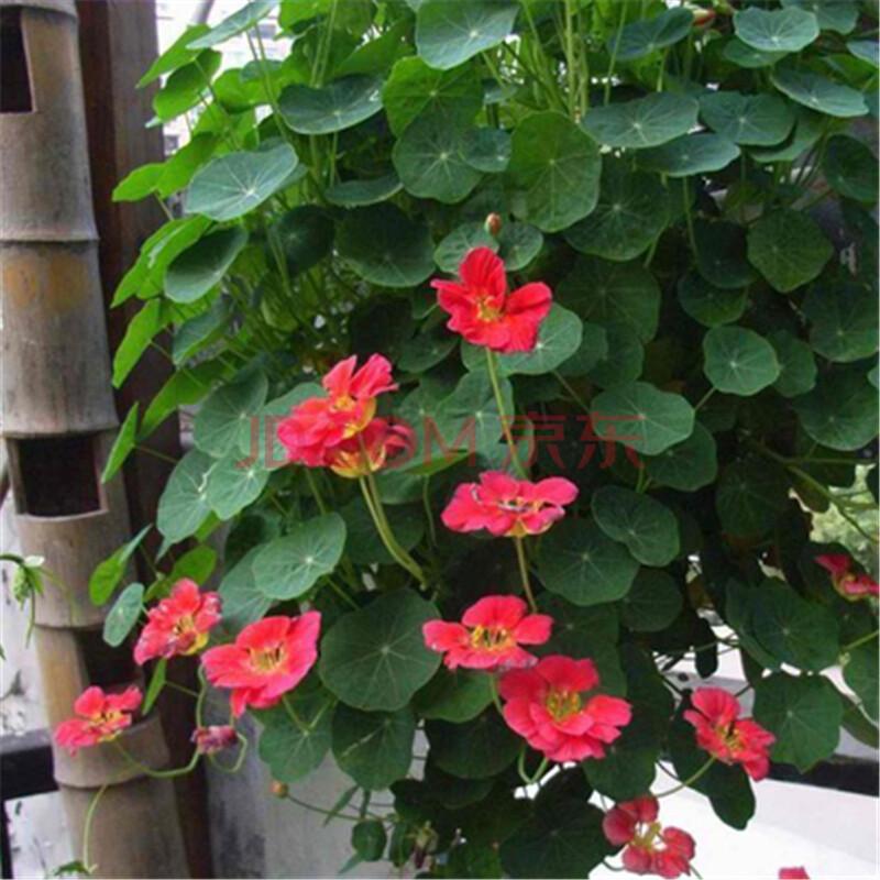 吊兰植物种子垂吊旱金莲种子盆栽旱荷花金莲花种子 胭脂21 10粒