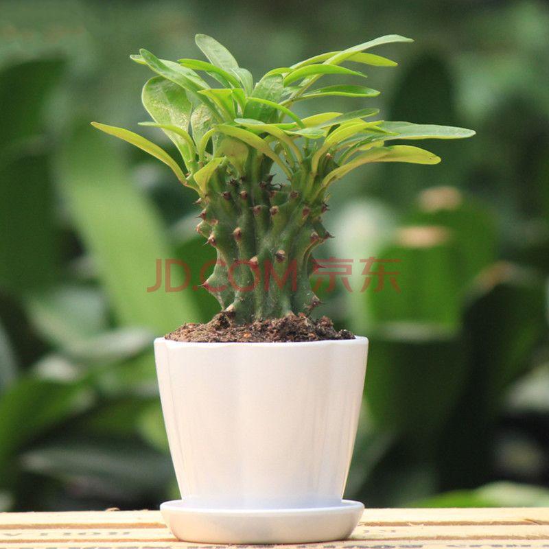 彩色仙人掌盆栽