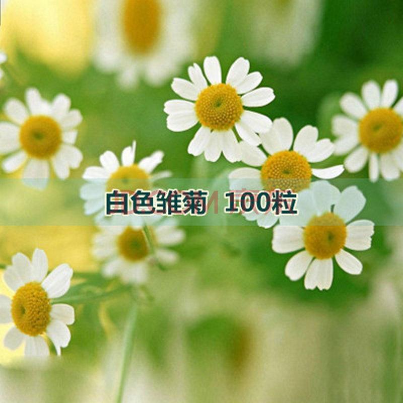 春曲 进口盆栽植物 室内阳台花卉 满天星雏菊花种子四
