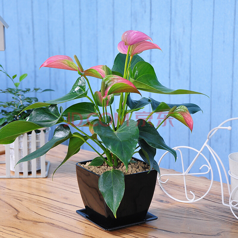 迷你粉掌桌面盆栽植物花卉办公室内桌面吸毒净化空气花草盆景 迷你