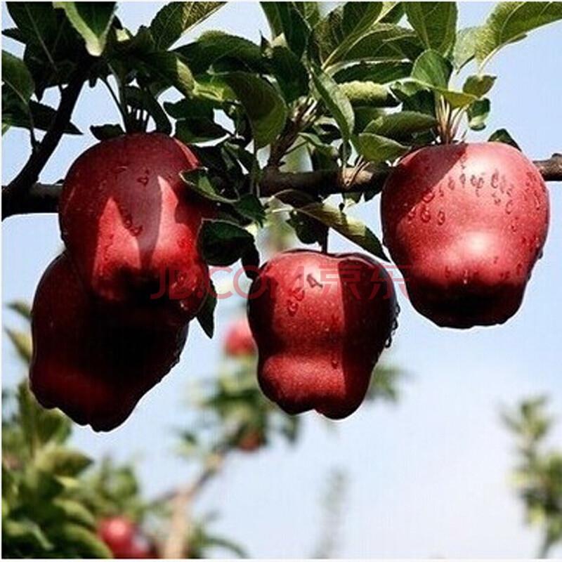 果树苗 新品种红肉苹果树苗 盆栽地栽南北方种植当年结果 美国蛇果