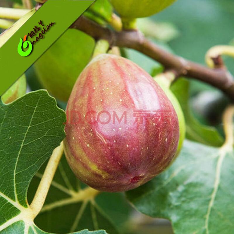 无花果苗 果树苗室内外种植无花果盆栽 日本紫果盆栽花苗地栽南北方种
