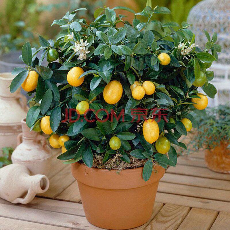 果树盆栽果树苗/柠檬苗/柠檬树苗