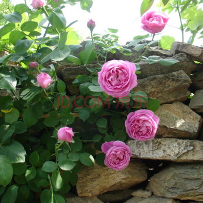大游行藤本月季苗 爬藤植物蔷薇苗绿植盆栽花卉四季循环开花欧月 自由