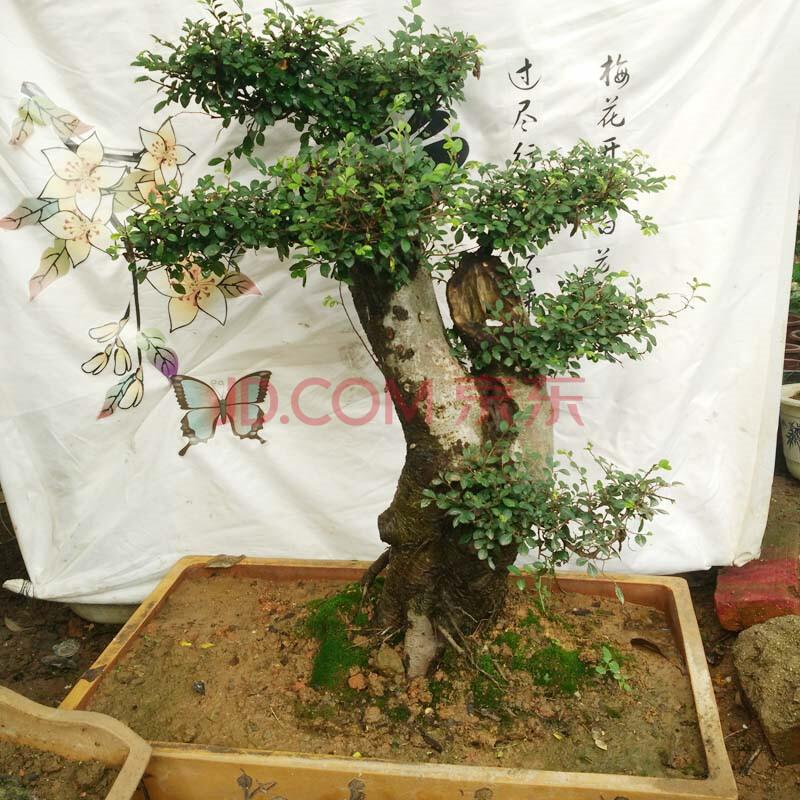 小叶榆树桩盆景黄叶子是什么原因,如何养护