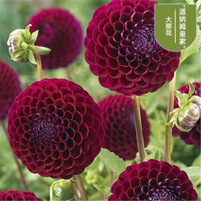 种子 花草林木类 苏之卉 进口大丽花种球根阳台庭院花卉纯色系裸球 浅