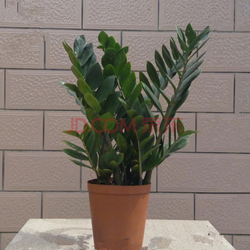 金钱树盆栽室内花卉摇钱树大盆景大型客厅观叶风水肉质绿植招财树包邮