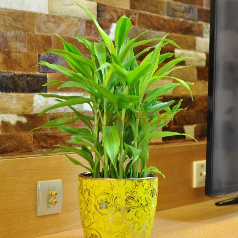 中型绿色盆栽植物 绿色植物 净化空气植物 适合摆放办公室 客厅卧室等