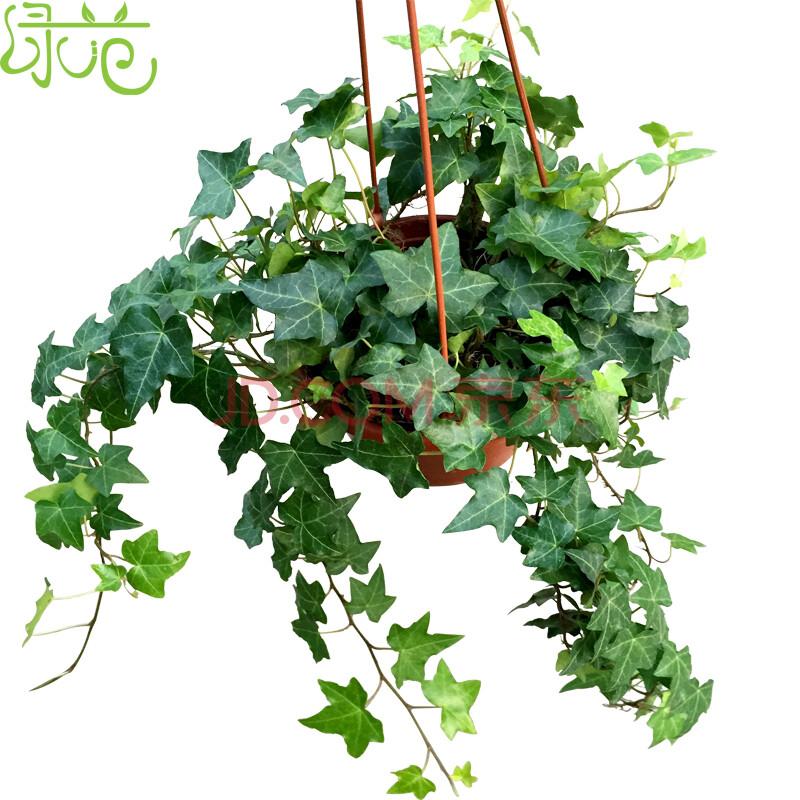绿范 常春藤盆栽室内客厅吊篮吊兰花卉空气净化植物盆栽北京送花吸