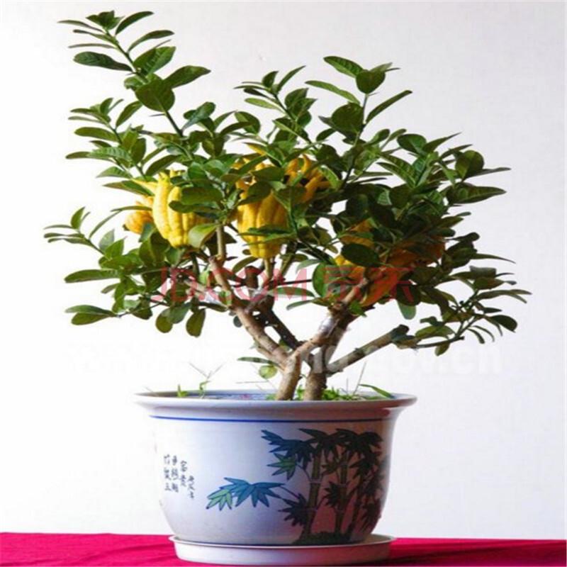 室内外盆栽花卉 佛手苗 金佛手 佛手树苗 净化空气 各种规格结果苗 2