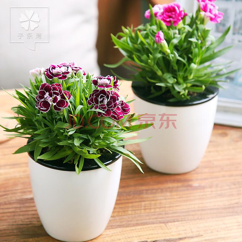 康乃馨盆栽花卉室内客厅阳台观花植物花苗带花苞四季开花庭院绿植 小