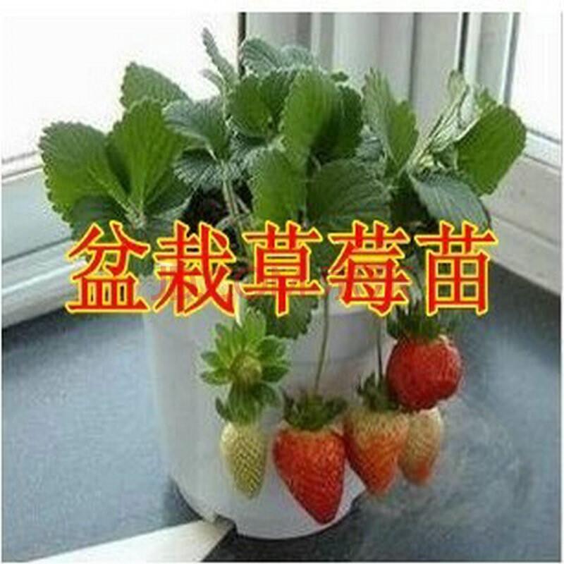 盆栽/苗木 苗木 姜芮 庭院植物果树苗 四季盆栽批发 攀援草莓苗 花卉