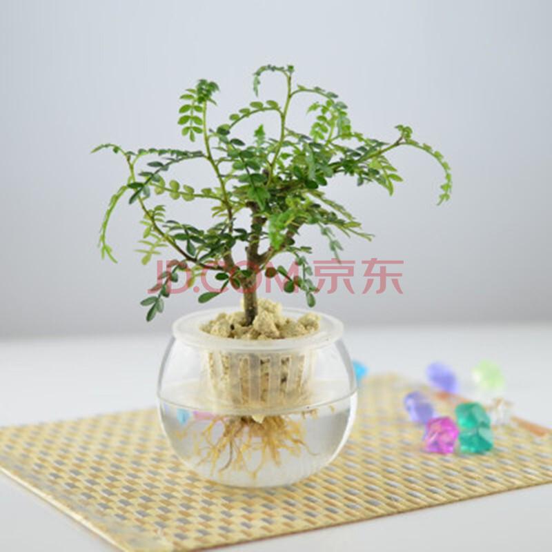 爱悦旗舰店 多种水培植物 室内盆栽花卉绿植办公室 防