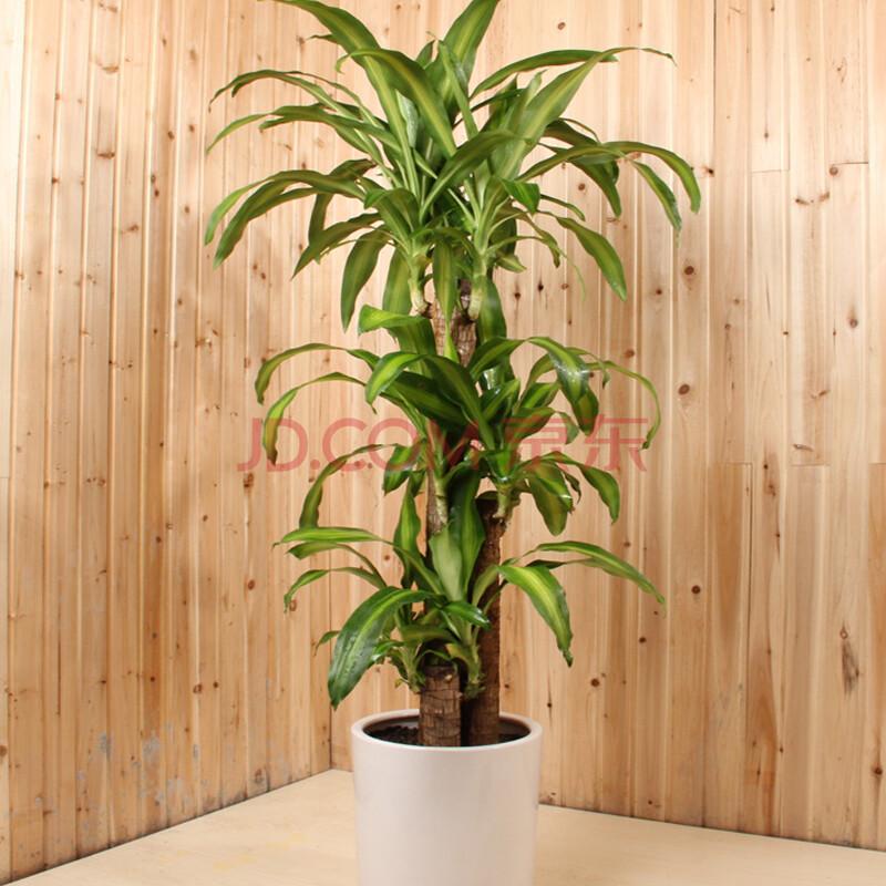 巴西铁树盆栽金心巴西木客厅办公室大型绿植净化空气