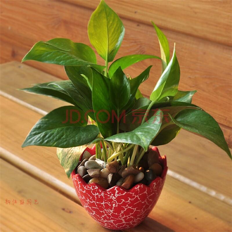 绿萝植物净化空气新房装修必备水培花卉室内小盆栽 小