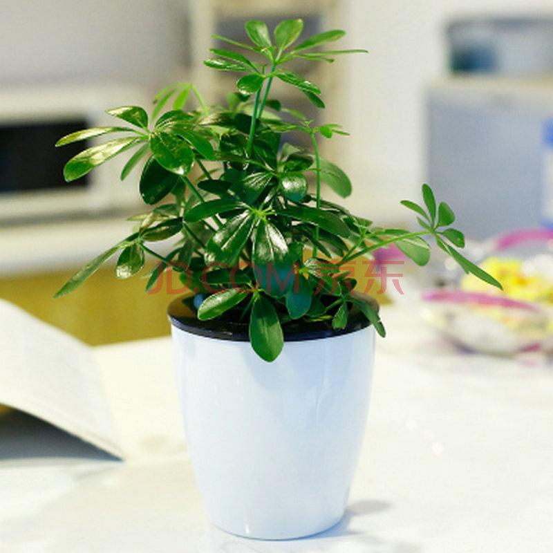 吊兰 鸭脚木 罗汉松 绿植金钻盆栽 绿色植物盆景 办公室内 吸甲醛 白