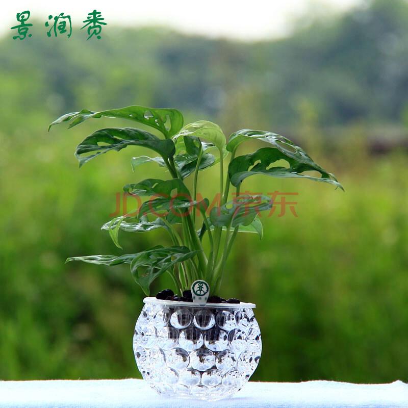 景润赉水培绿植龟背竹盆栽室内居家防辐射水养