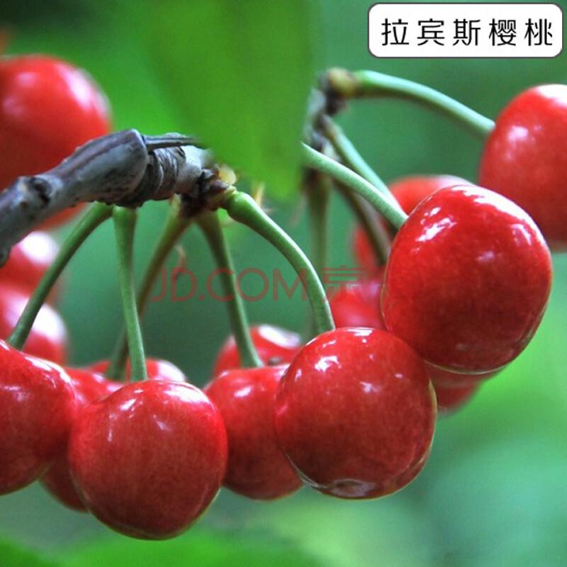 樱桃树苗 美国车厘子樱桃果树苗 早熟大樱桃树苗 南方