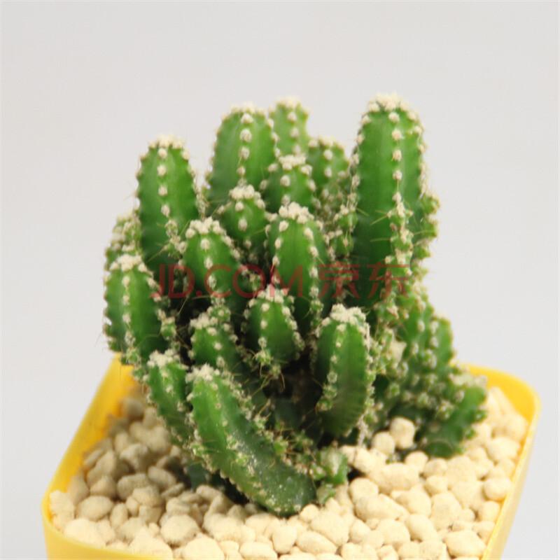 多肉植物组合盆栽 防辐射肉肉植物 办公室桌面含花盆绿植 万重山