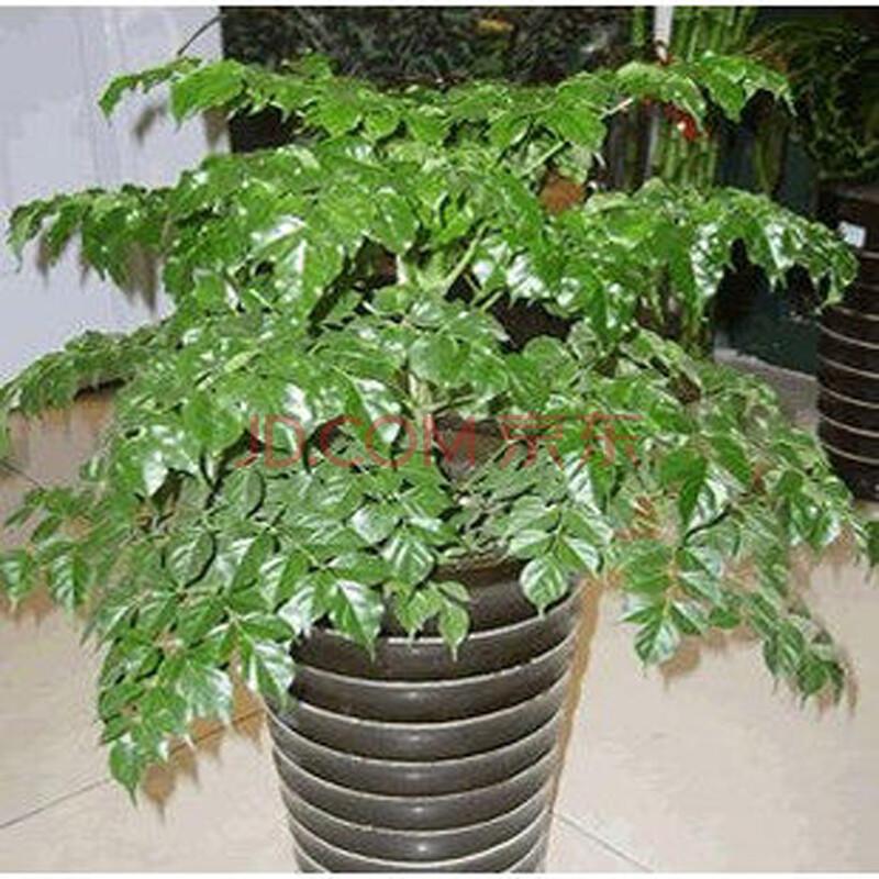 雅卉 盆栽花卉室内四季常绿 幸福树 平安树 净化空气.
