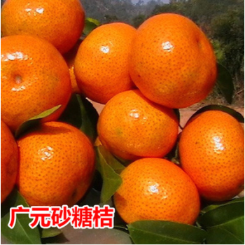 蜜桔桔子桔子苗草莓树苗四川脐橙苗橘子橘子 8年苗【下单备注品种】
