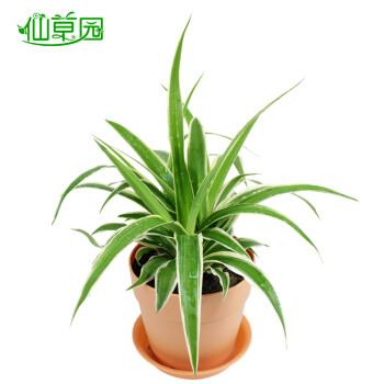 绿色植物盆栽绿植净化空气 吸甲醛防辐射吸收异味金边吊兰 金边吊兰