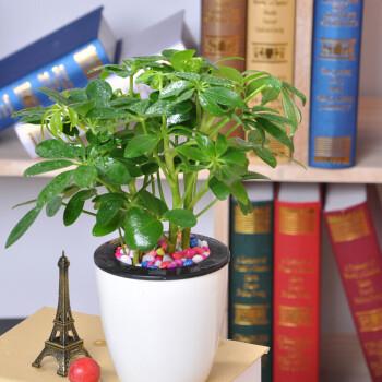 四季常青 鸭掌木七叶莲八方来财 鸭脚木 盆栽植物净化图片