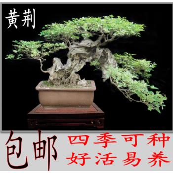 罗汉松造型树价格_仿真芭蕉树_仿真造型树