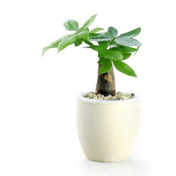 【花清枫】发财树盆景 水养桌面植物 迷你盆栽 寓意发财兴旺 整套含盆