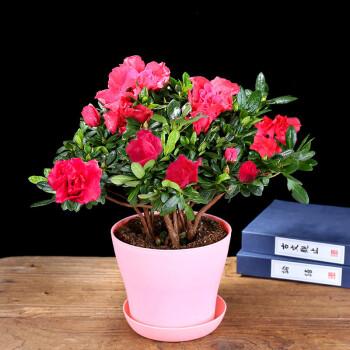 四季开花比利时杜鹃花盆栽室内阳台绿植花卉盆景树桩图片