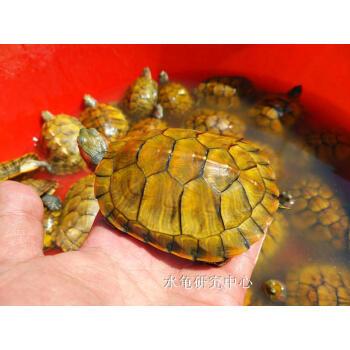 乌龟活体 小宠 巴西龟观赏龟黄金龟 乌龟活体特大 发财龟一只 黄色 黄