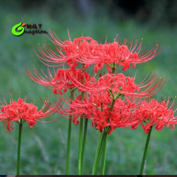 花-曼珠沙华-曼陀罗种子花