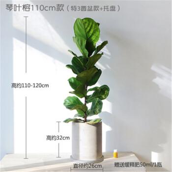 巧达北欧室内客厅大型绿植琴叶榕天堂鸟散尾葵旅人蕉大叶植物花卉盆栽