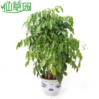 绿色植物盆栽盆景美化环境办公室内家庭布景落叶乔木 绿宝