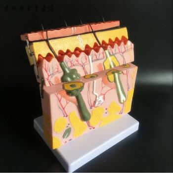 皮肤结构解剖模型教学组织层次立体构造微整形缝合型