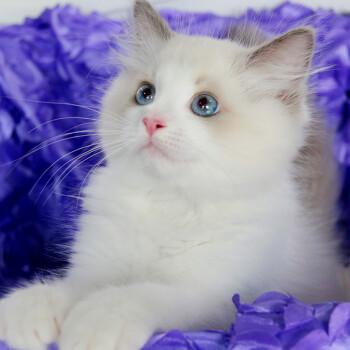 lauren 一对一售后 纯种布偶猫 宠物布偶猫幼猫咪活体